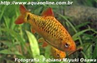 Puntius sachsii