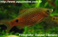 Puntius conchonius