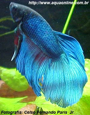 Beta (Betta splendens)