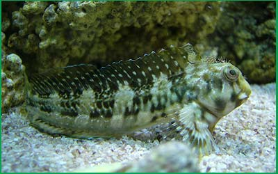 Gobies e Blennies